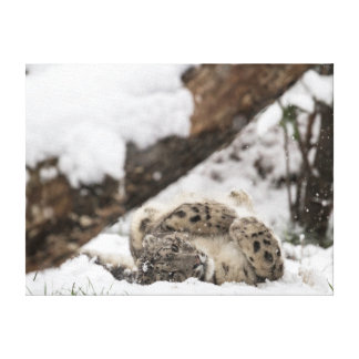 Cute Snow Leopard Plays in Snow Canvas Print