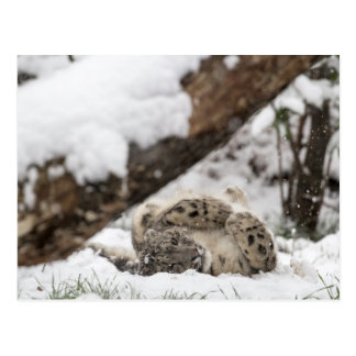 Cute Snow Leopard Plays in Snow Postcard