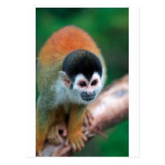Cute squirrel monkey Panama tropical rainforest Postcard