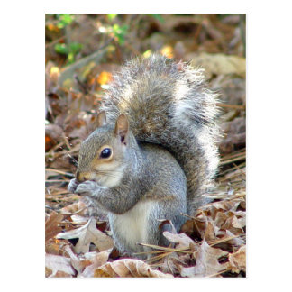 Cute Squirrel Postcard