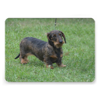 Cute Wire Haired Dachshund Personalized Invite