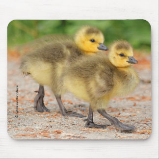 Cuteness on Parade: Canada Goose Goslings Mouse Pad
