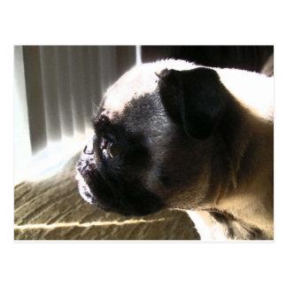Cutie Pug, side profile Postcard