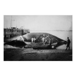 Cutting up a Blue Whale in Alaska Photograph Poster