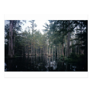 Cypress Swamp in Charleston, SC Postcard