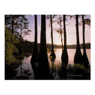 Cypress trees in Lake Bradford Region , 3 Postcard
