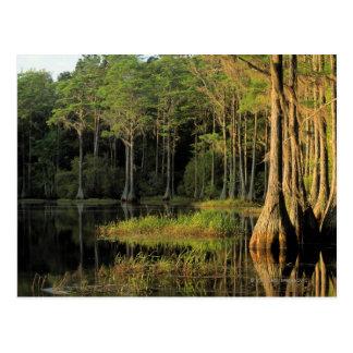 Cypress trees in Lake Bradford Region , Postcard