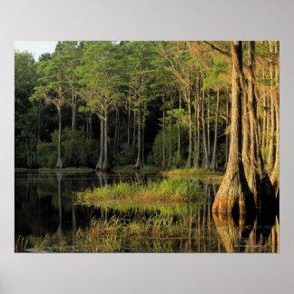 Cypress trees in Lake Bradford Region , Print