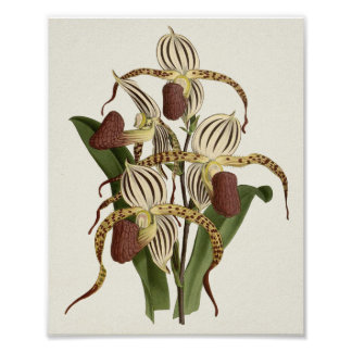 Cypripedium Stonei Poster
