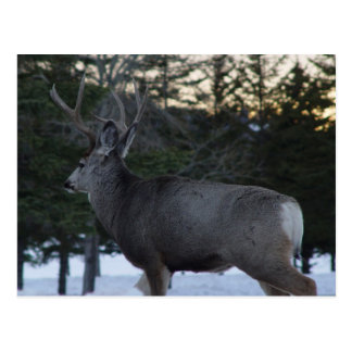 D0008 Mule Deer Buck Postcard