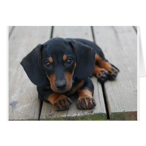 Dachshund Puppy Black Cards