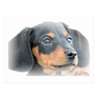 Dachshund Puppy Postcard