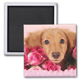 Dachshund Puppy Surrounded by Roses Square Magnet
