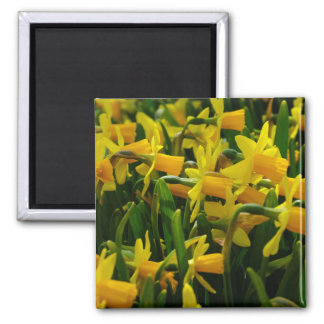 Daffodil Family Square Magnet