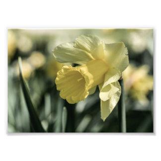 Daffodil Flower Photography Photo Art