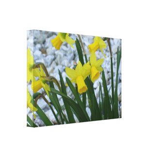 Daffodil Growing Stretched Canvas Prints