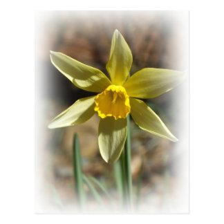 Daffodill Postcard
