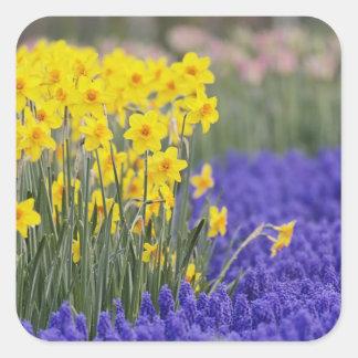 Daffodils and Grape Hyacinth, Keukenhof 3 Square Sticker