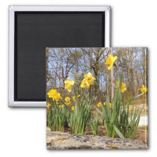 Daffodils at Easter Magnet