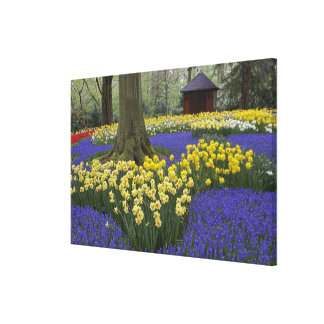 Daffodils, grape hyacinth, and tulip garden, canvas print