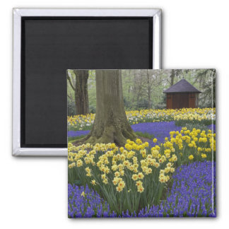 Daffodils, grape hyacinth, and tulip garden, square magnet