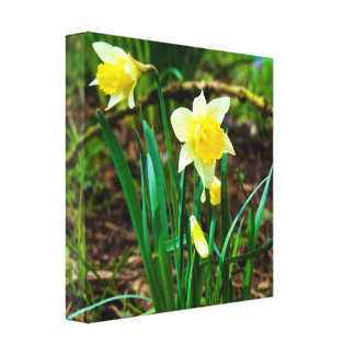 Daffodils in the Spring Canvas Print
