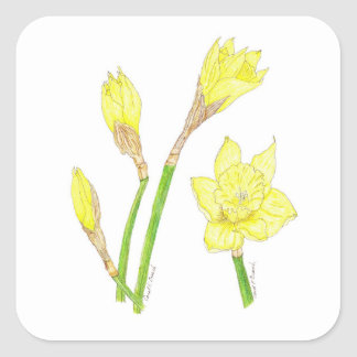 Daffodils (Narcissus) Blooming Square Sticker