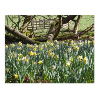 Daffodils on a Spring Day Post Card