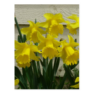 Daffodils on Unalaska Island Postcard