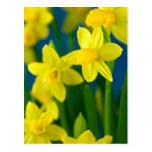 Daffodils Postcards