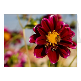 Dahlia, Baby Red Card