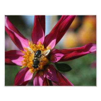 Dahlia Bee Photo