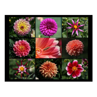 Dahlia Collage 01 Postcard