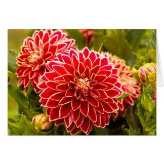 Dahlia In Bloom 11 Card