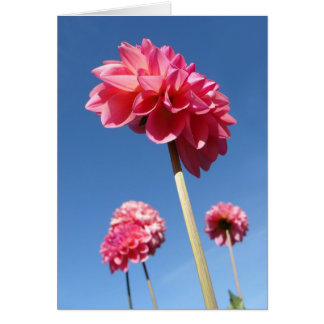 Dahlia, pink tall flowers low angle with blue sky card