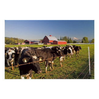 Dairy Cattle, Red Barn and Mount Rainier Print