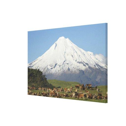 Dairy Cows and Farmland near Okato, and Mt Gallery Wrap Canvas