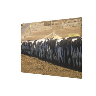 'Dairy farm at feeding time, Point Reyes, CA' Gallery Wrap Canvas