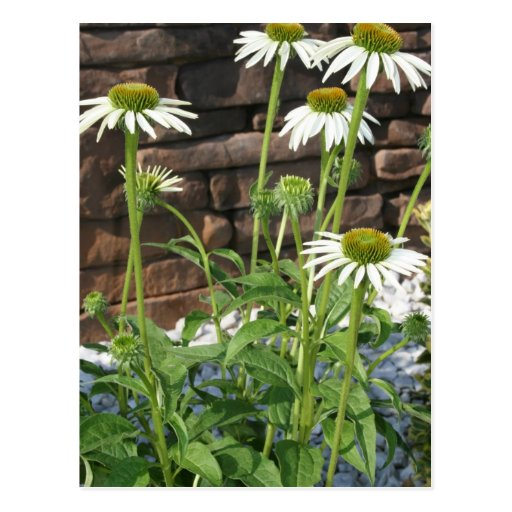 daisies flower picture gift post card