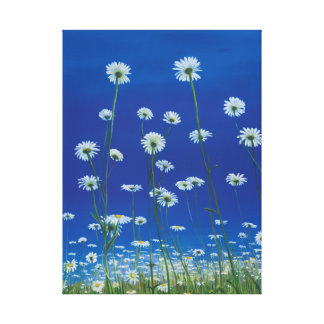 Daisies gicllee print gallery wrap canvas