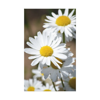 Daisies in Spring Canvas Prints