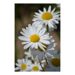 Daisies in Spring Posters