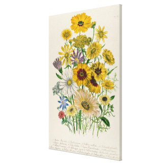 Daisies, plate 31 from 'The Ladies' Stretched Canvas Print