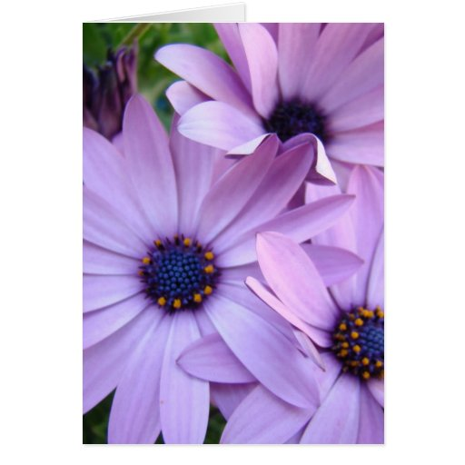 DAISIES Purple Pink Daisy 1 Cards Gifts Mugs