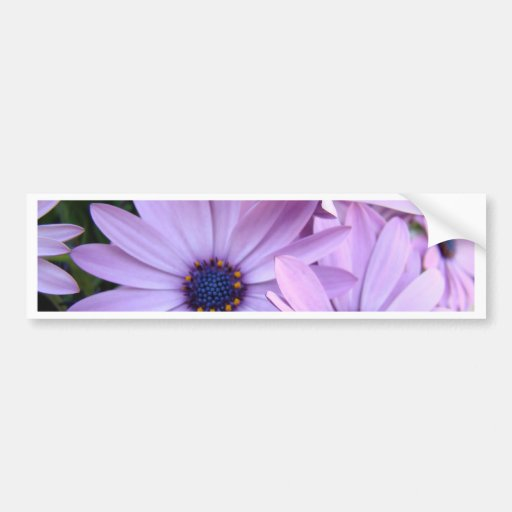 DAISIES Purple Pink Daisy 1 Cards Gifts Mugs Bumper Stickers