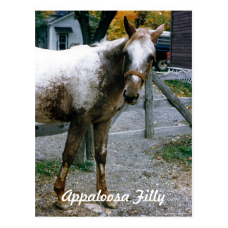 """Daisy""  Appaloosa Filly Postcard"