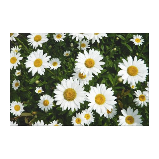 Daisy Delight Canvas Prints