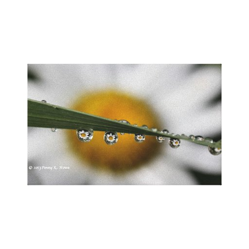 Daisy Drops nature photograph Gallery Wrapped Canvas