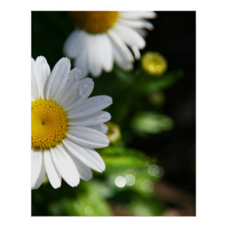 Daisy Flowers, Droplets Poster
