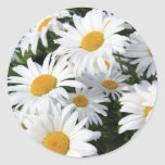 Daisy Flowers Growing White Round Sticker